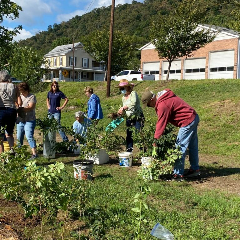 More than 400 forsythia cuttings were planted last Friday in a trench north of the Berkeley Springs Train Depot and can be seen from U.S. 522. photo by Rebecca MacLeod